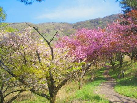 遊歩道の桜CIMG0060