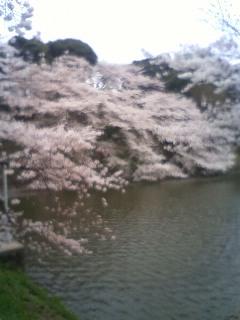 sakura20114.jpg