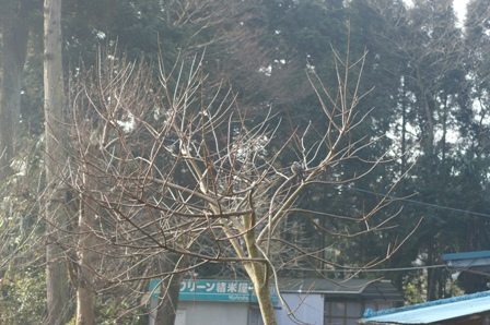 2010.2.20 ヒヨドリ来る