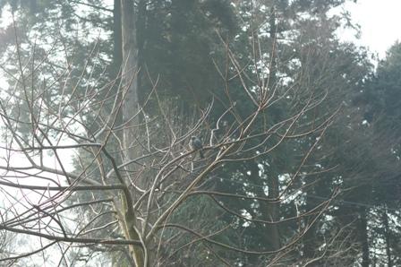 2010.2.20 2羽のヒヨドリ