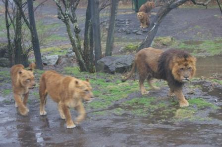 2010.2.21 歩くライオン