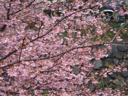 2010.3.6河津桜