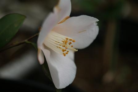 2010.3.15 水仙の花弁