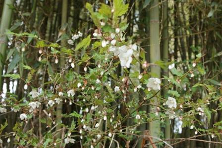 2010.3.21 ばらイチゴの白い花 040
