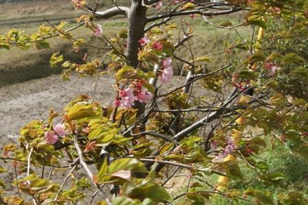 2010.3.21 桜の花 017