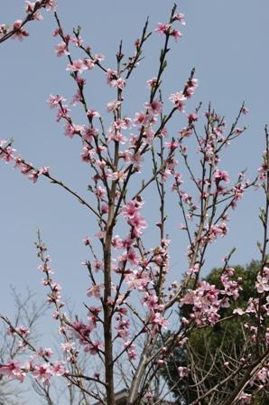 2010.3.21 師匠の杏の花 022