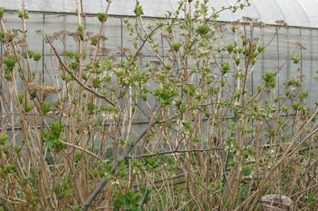 2010.4.4 ビックリぐみの花035
