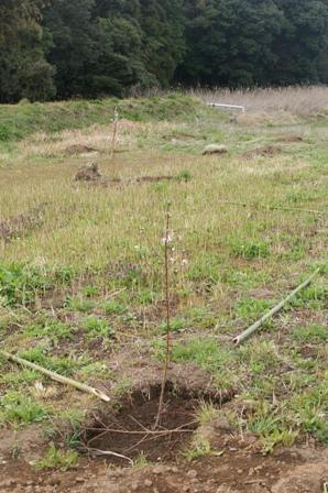 2010.4.4 果樹園のもも苗040