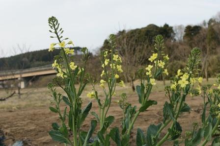 2010.4.4ブロッコリーの花045