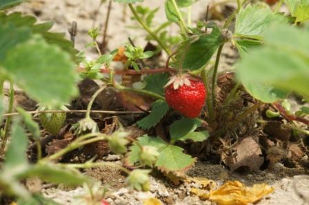2010.5.5 ハウスのイチゴ