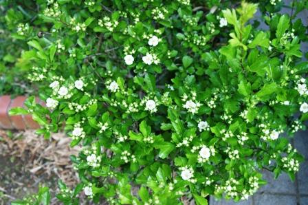 2010.5.10 植木の白花