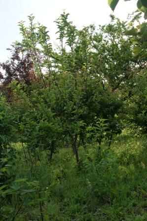2010.5.19 環境保全型農業の対照圃場 (りんご)