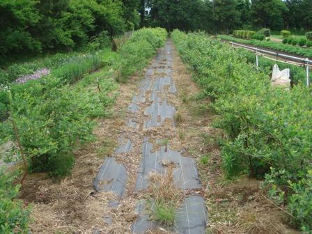 2010.5.29 切替師匠の野菜畑(ブルーベリー)