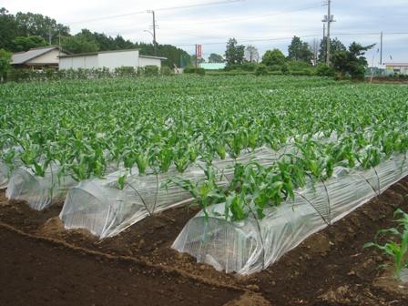 2010.5.29 切替師匠の野菜畑(もろこし)