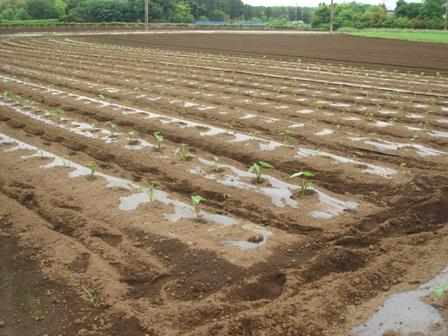 2010.5.29 切替師匠の野菜畑 (里芋畑)
