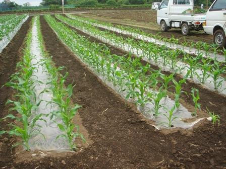 2010.5.29 切替師匠の野菜畑 (もろこし畑)