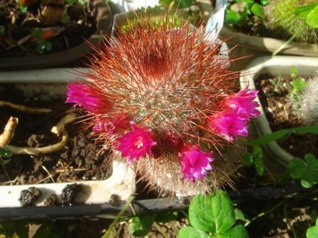 2010.6.3 サボテンの花