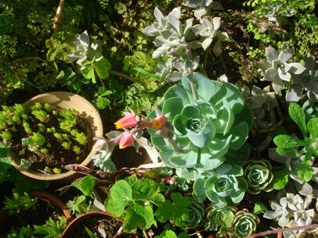 2010.6.3 多肉植物の花