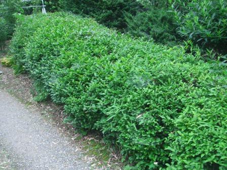 2010.6.8 庭の茶畑