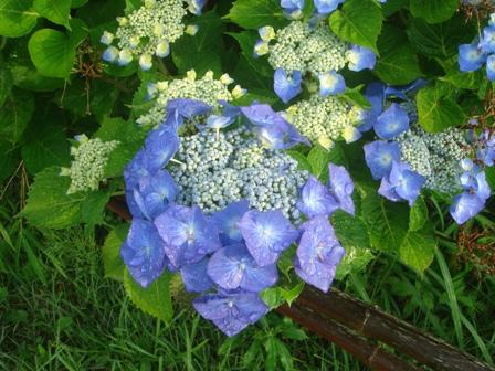 2010.6.16アジサイの花