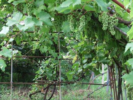 2010.7.8夏の山葡萄