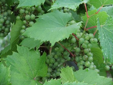 2010.7.8どうする山葡萄