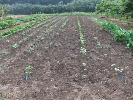 2010.7.23 発芽した青大豆