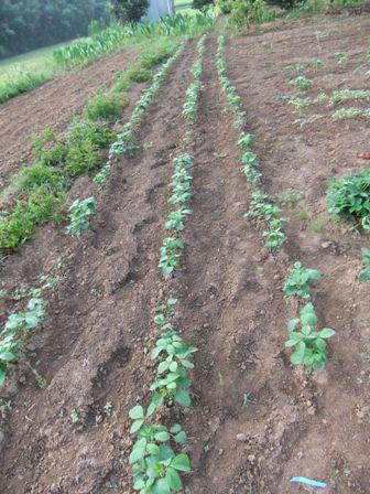 2010.7.23 発芽した茶豆