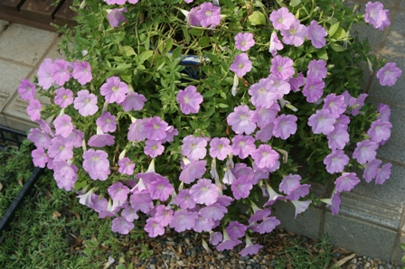 2010.8.1満開の花