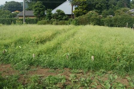 2010.8.1里芋、さつまいも、草