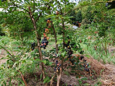2010.8.7,8 ブルーベリーの木