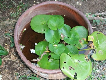 2010.9.1 秋の庭に睡蓮鉢 014