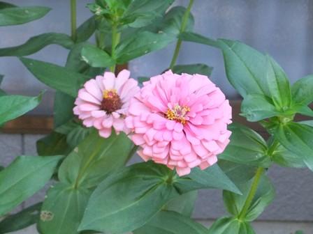 2010.9.1 秋の庭に咲く花 009