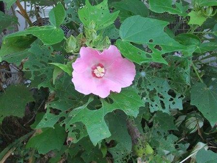 2010.9.1 秋の庭に咲く葵の花 017