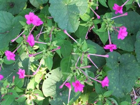 2010.9.1 秋の庭に咲くおしろい花 001