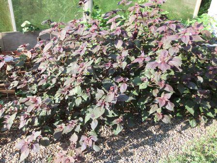 2010.9.1 秋の庭に生えた赤しそ 008