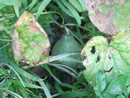 2010.9.1 秋の庭に生えたメロン 002