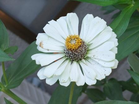 2010.9.1 秋の庭に咲く百日草 012