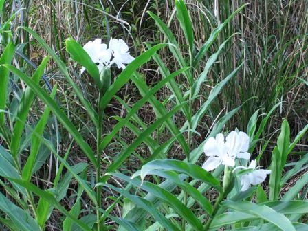 2010.9.11 ジンジャーの白花 019