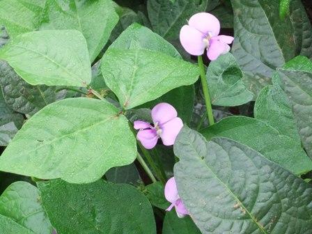 2010.9.21大豆たちの花 026