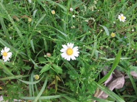 2010.9.21野菊たちの花 034