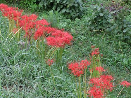 2010.9.26公民館横の花
