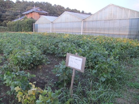 2010.11.7良く出来た大豆