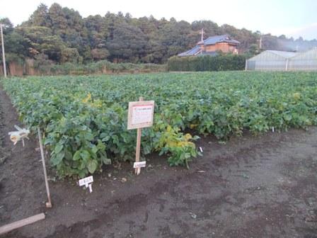 2010.11.7クラブの大豆