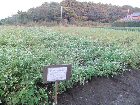 2010.11.7収穫の近づくそば