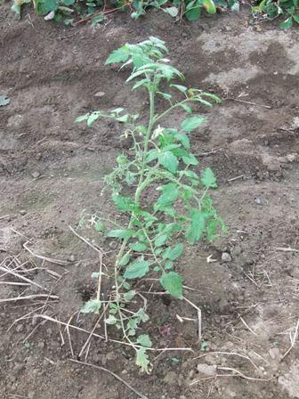 2010.11.11移植したトマト