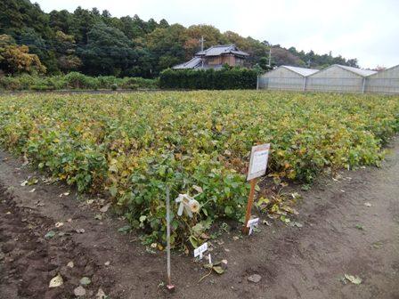 2010.11.23晩秋の大豆