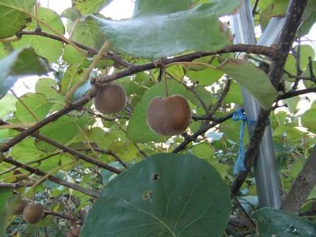 2010.11.11緑のキウイフルーツ