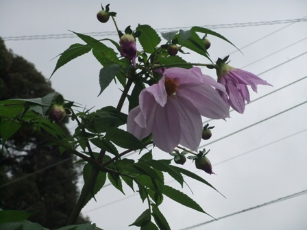 2010.11.23皇帝ダリアの花