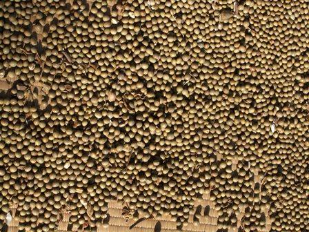 2010.11.28茶豆を干す